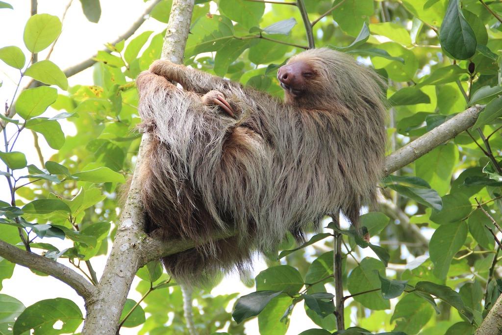 Sloth in Costa Rican jungle
