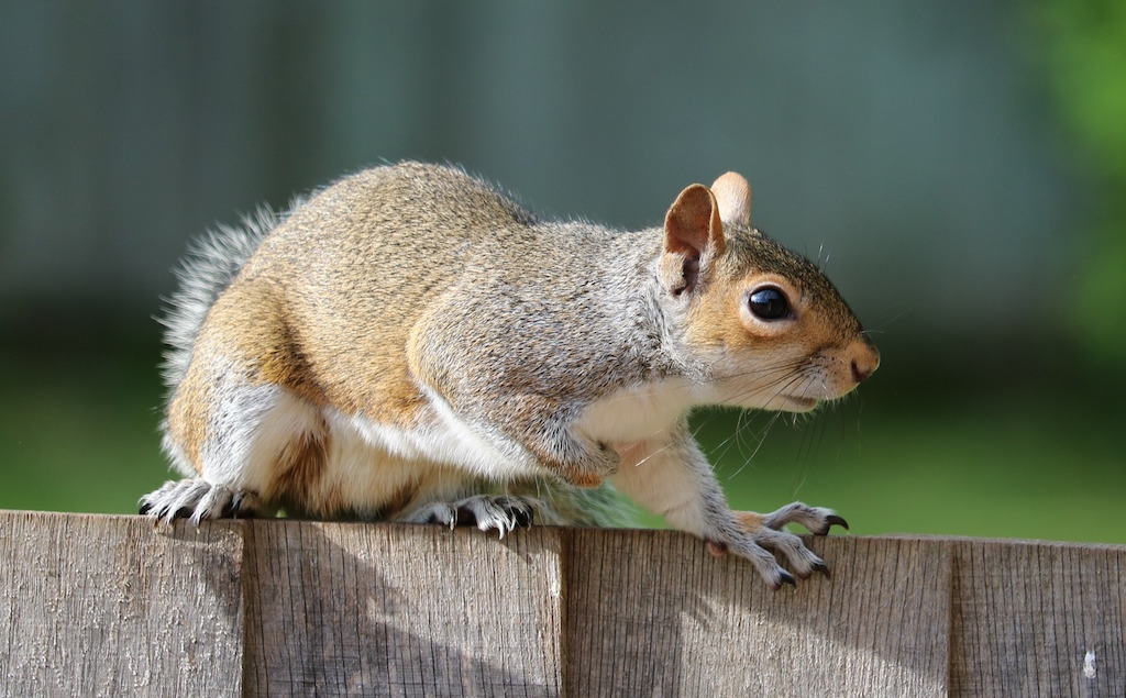 squirrel-rodent