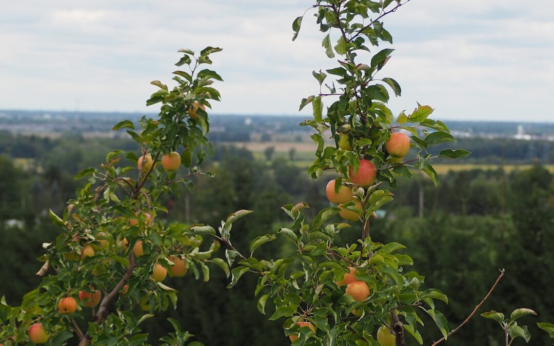 The Best Varieties of Apricots Trees to Grow